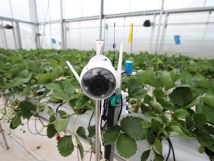 用人工智能种草莓,拼多多想颠覆传统农业?