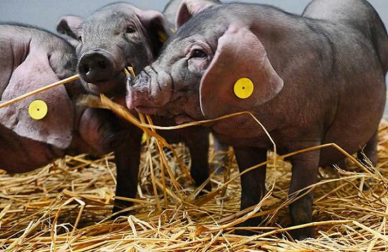 互联网大厂争相下场养猪,不只是吸引眼球这么肤浅